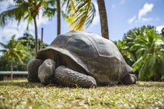 巨型草龟52的画象 免版税库存照片