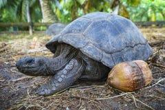 巨型草龟29的画象 库存图片
