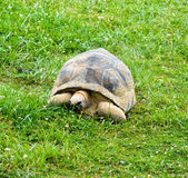 巨型草龟 库存图片