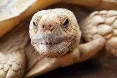 巨型草龟 免版税图库摄影