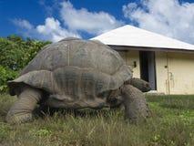 巨型草龟 库存照片