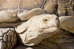 巨型草龟 图库摄影
