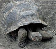 1巨型草龟 库存图片