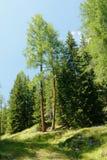 巨型落叶松属树 免版税库存照片
