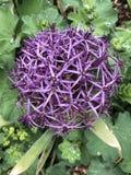 巨型葱-葱属Giganteum 库存图片