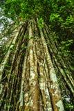 巨型藤本植物和叶子盖的印度榕树热带树 免版税图库摄影