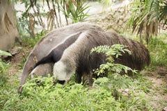 巨型蚂蚁食者 免版税库存照片