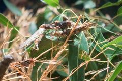 巨型蚂蚱 免版税库存照片