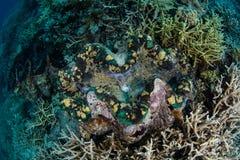 巨型蛤蜊在帕劳 免版税库存图片