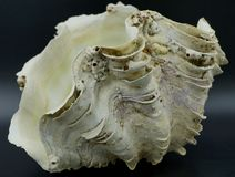巨型蛤蜊壳 免版税库存图片