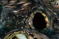 巨型蛤蜊摘要 免版税库存图片