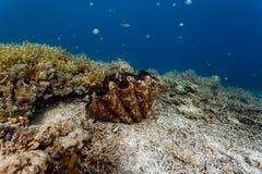 巨型蛤蜊闭合的嘴的Z形图案特写镜头在珊瑚礁的 图库摄影