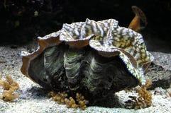 巨型蛤蜊 免版税库存图片