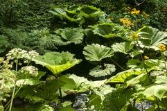 巨型蜂斗菜叶子 图库摄影