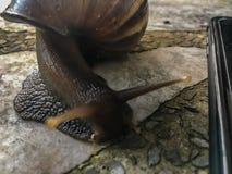 巨型蜗牛在Patong Phuke运输在石台式的婴孩 库存照片