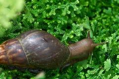 巨型蜗牛非洲巨型蜗牛, Achatina骨顶属在热带亚洲找到的鲍迪奇这只蜗牛是当地的对印度和传播了t 库存照片