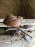 巨型蜗牛 免版税库存照片