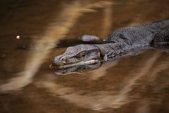 巨型蜥蜴漂浮在科莫多岛海岛上的河下  库存图片