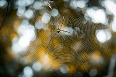 巨型金黄天体网络蜘蛛Nephila pilipes 免版税库存图片