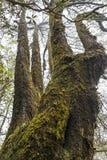 巨型青苔盖了老树 免版税库存照片