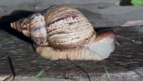 巨型非洲蜗牛Achatina 股票录像