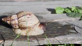 巨型非洲蜗牛Achatina 影视素材