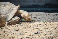 巨型非洲被激励的草龟(Centrochelys sulcata)吃着 免版税图库摄影