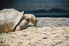 巨型非洲被激励的草龟(Centrochelys sulcata)吃着 免版税库存图片