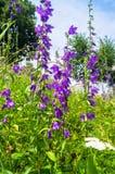巨型风铃草或风轮草latifolia明亮的淡紫色花在阳光下在被弄脏的背景 免版税库存照片