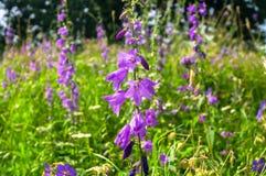 巨型风铃草或风轮草latifolia明亮的淡紫色花在阳光下在被弄脏的背景 免版税图库摄影