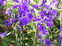 巨型风铃草,风轮草latifolia,开花在庭院里 图库摄影