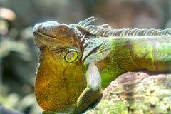巨型鬣鳞蜥画象在动物园里休息 免版税库存照片