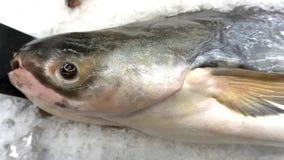巨型鱼未加工在冰在鱼市上 库存照片