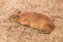 巨型鼠或水豚 库存照片