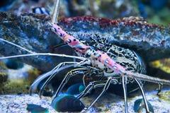 巨型龙虾,水下的世界 免版税库存照片