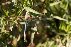 巨型更加织补的蜻蜓 图库摄影