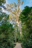 巨型黄色木材树在Tsitsikamma,南非 免版税库存图片