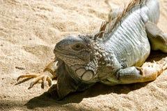 巨型绿色鬣鳞蜥 库存图片