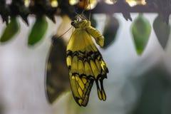巨型蝴蝶 库存图片