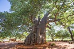 巨型猴面包树树在南非 库存照片