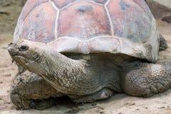 巨型aldabra草龟 免版税图库摄影