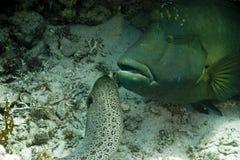 巨型gymnothorax javanicus海鳗 免版税库存图片