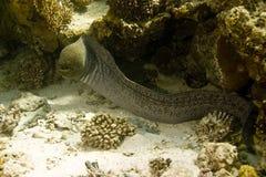 巨型gymnothorax javanicus海鳗 库存图片