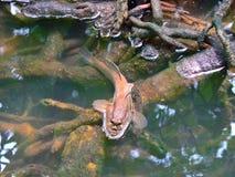 巨型mudskipper 免版税库存照片