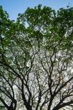 巨型raintree的美好的自然抽象剪影样式分支与新鲜的绿色叶子和蓝天背景 免版税图库摄影