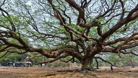 巨型Raintree 库存图片