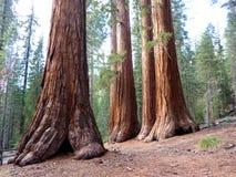 巨型s美国加州红杉 免版税库存图片