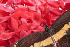 巨型Swallowtail蝴蝶 免版税库存图片