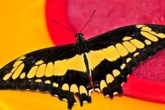 巨型swallowtail蝴蝶 库存图片