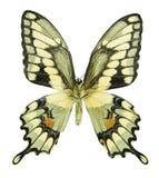 巨型swallowtail 图库摄影